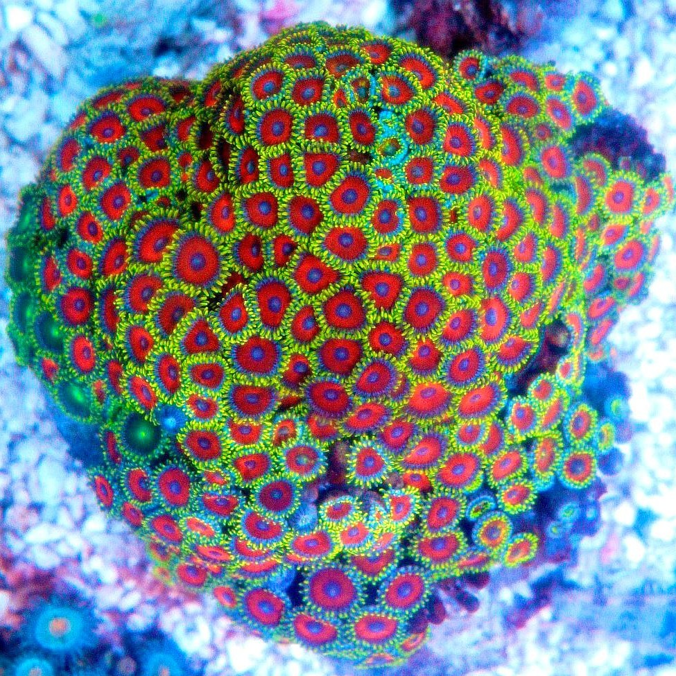 ( Assorted) Zoanthid button polyps