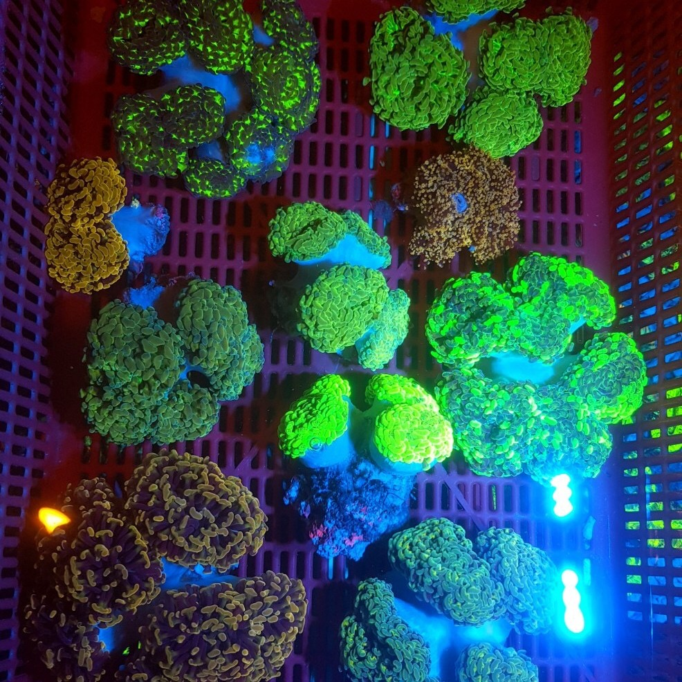 (Assorted) Branching hammer coral